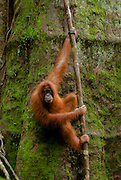 Sumatran orangutan hangs out against a giant tree trunk in Gunung Leuser National Park, North Sumatra