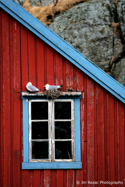 NORWAY LOFOTEN 29MAR07 - Seagulls nesting on a traditional fisherman's hut in the town of � on the Lofoten islands...jre/Photo by Jiri Rezac..© Jiri Rezac 2007..Contact: +44 (0) 7050 110 417.Mobile:  +44 (0) 7801 337 683.Office:  +44 (0) 20 8968 9635..Email:   jiri@jirirezac.com.Web:    www.jirirezac.com..© All images Jiri Rezac 2007 - All rights reserved.