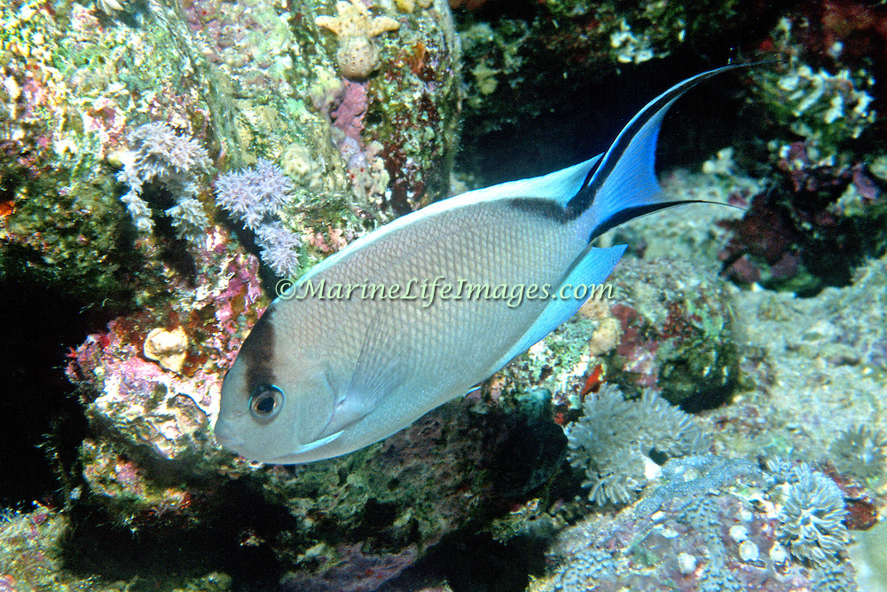 Zebra Angelfish inhabit reefs. Range Red Sea to Maldives and N. Sumatra, Indonesia, picture taken Red Sea.
