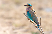 Indian roller (Coracias benghalensis) from Pench National Park, Madhya Pradesh, India.