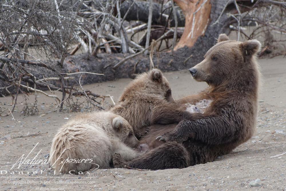 Alaskan Brown Bear (Ursus middendorffi) female nursing her cubs. Alaska