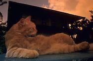 """USA, Vereinigte Staaten Von Amerika: Hauskatze (Felis catus domesticus), Felidae, Katze liegt entspannt auf einem Kartentisch und zelebriert den ?key-westy? Lebensstil, Hemingway Haus im Hintergrund, Hemingway Haus und Museum, Key West, Florida   USA, United States Of America: Domestic cat (Felis catus domesticus), Felidae, cat laying relaxed on a garden table celebrating """"key-westy"""" lifestyle, Hemingway house in the back, Hemingway Home and Museum, Key West, Florida  """