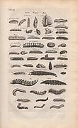 Copperplate print of worms and slugs from Johannes Jonston book of nature 'Dr. I. Ionstons Beschrijving vande natuur der vogelen neffens haer beeldenissen in koper gesneden' Published in Amsterdam in 1660