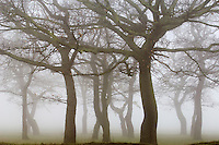 Bare trees on foggy day