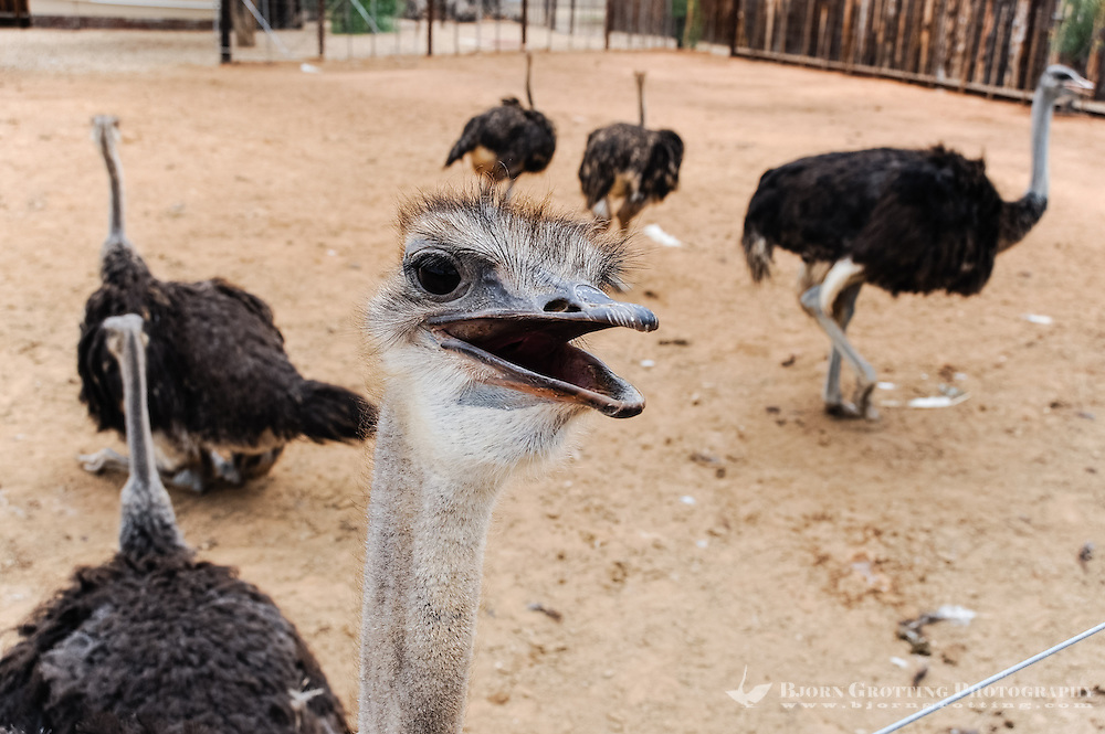 Oudtshoorn is the largest town in the Little Karoo region of South Africa. Home to the world's largest Ostrich population.
