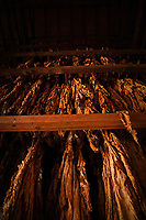 Tobacco cures in a barn at the Mountain Research Station and farms in Haywood County.
