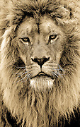 King of the camera: Photographer spends ten years capturing incredible sepia portraits of big cats <br /> <br /> This series of spectacular sepia shots gives a stunning insight into the lives of the big cats at a Macedonian zoo - where a dedicated photographer spent 10 years recording their behaviour.<br /> Photographer Goran Anastasovski devoted a decade of his life to taking snapshots of the lions, tigers and leopards when at their most unguarded and intimate.  <br /> The 46-year-old, from Macedonia, hoped to emphasise the animals' human qualities in the photographs, taken at Skopje Zoo in Gradski Park, Macedonia<br /> <br /> 'I adore big cats and am fascinated with their beauty, said Anastasovski. <br /> 'I took these photos to show people that these cats have everything we so desperately want - such as love, bravery, sincerity and loyalty. <br /> 'My goal is to introduce people to the beauty and character of the big cats.<br /> 'They are endangered animals and they should be loved, not killed.'<br /> Anastasovski's images show leopards, lions and tigers in surprisingly relaxed poses, with many of them sharing intimate moments with their companions.<br /> Some of the shots show pairs of animals together in affectionate poses, while others feature the big cats snarling and staring at the camera.<br /> Anastasovski admitted that, despite the bond he feels with the cats, they would waste no time in having him for dinner.<br /> 'I visit them very often and I think that they know me very well,' he said..<br /> 'The interesting thing is that after all these years they still try to eat me after they see the lens.'<br /> ©Exclusivepix Media