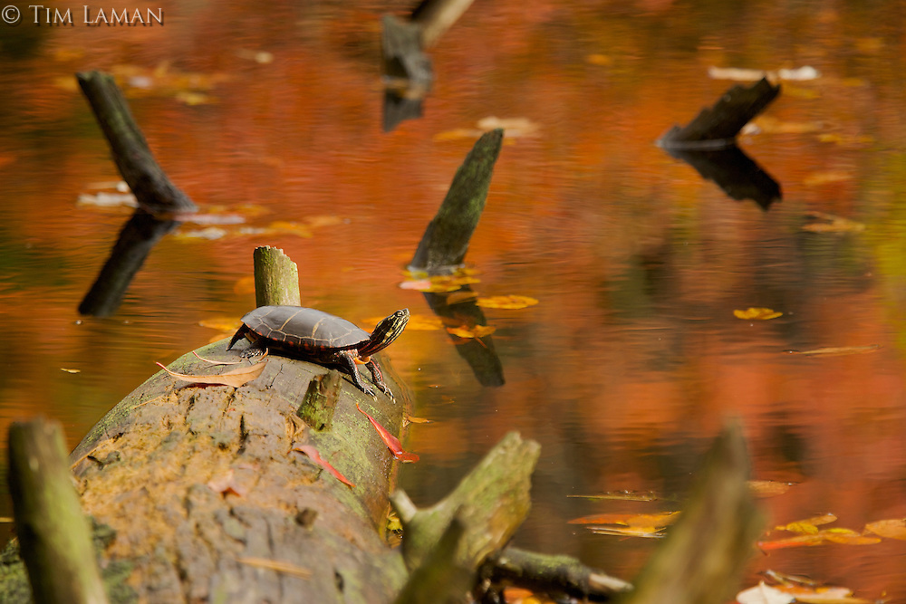 """Painted Turtle"" .Fall views at Walden Pond.  An Eastern Painted Turtle (Chrysemys picta) basks on a fallen tree at Wyman Meadow."