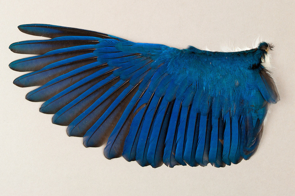 The wing of a Beach Kingfisher (Halcyon saurophaga) in the Burke Museum of the University of Washington, Seattle, Washington