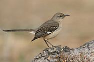 Northern Mockingbird - Mimus Polyglottos - 1st winter