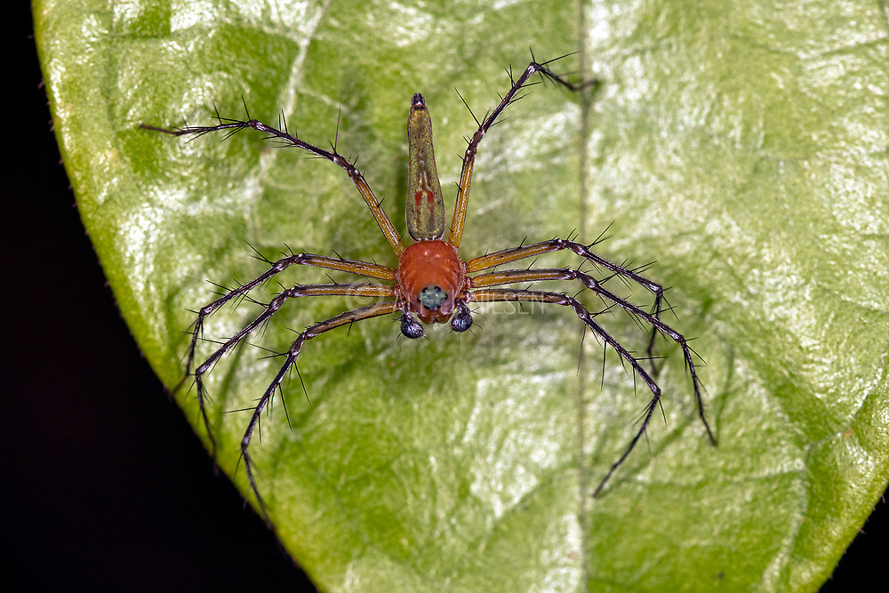 Lynx spider from the family Oxyopidae (Oxyopes sp. ?) from Deramakot Forest Reserve, Sabah, Borneo.