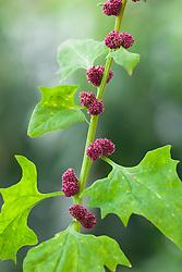 Blitum capitatum, syn. Chenopodium capitatum. Blite Goosefoot, Strawberry Goosefoot, Strawberry Spinach, Indian Paint, Indian Ink