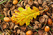 Oak leaf and acorns on forest floor in autumn in England