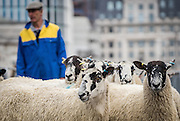 UNITED KINGDOM, London: 25 September 2016 Sheep are photographed crossing London Bridge, for the annual Great Sheep Drive when Freemen of the City of London exercise their 'long-established right' to herd sheep over the capital's oldest river crossing. Andrew Cowie / Story Picture Agency