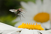 Green Bottle Fly (Calliphora sp.) pollinating a daisy flower. Note the pollen on the legs and body of the fly.