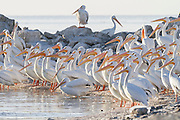 American White Pelicans gathered around a small inlet at Salton Sea, California.