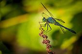 Damselfly/Dragonfly  Odonta