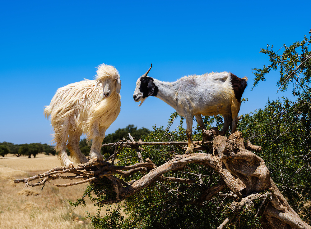 ESSAOUIRA, MOROCCO - CIRCA MAY 2018:  Goats over olive trees close to the port of Essaouira.