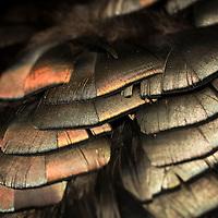 2016 eastern Montana spring turkey hunt