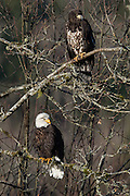 Wintering bald eagles on the Nooksack River, Deming, Washington