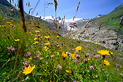 Plant diversity on glacier moraine. Schlatenkees, High Tauern National Park (Nationalpark Hohe Tauern), Central Eastern Alps, Austria | Pflanzen Artenvielfalt auf der Ufermoräne, Moränenwall. Schlatenkees, Nationalpark Hohe Tauern, Osttirol in Österreich