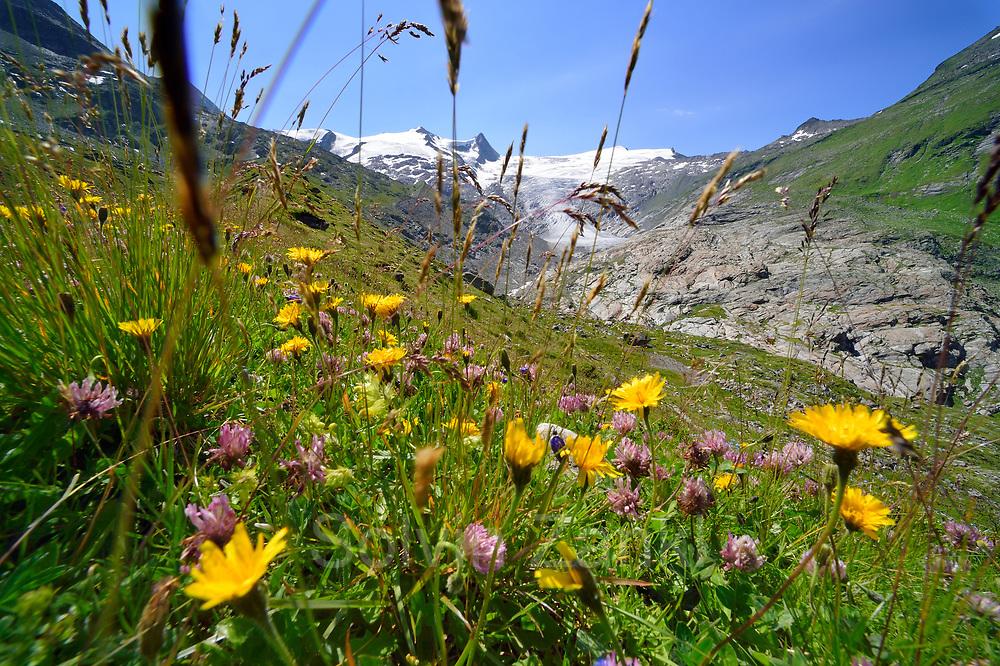 Plant diversity on glacier moraine. Schlatenkees, High Tauern National Park (Nationalpark Hohe Tauern), Central Eastern Alps, Austria | Pflanzen Artenvielfalt auf der Ufermoräne, Moränenwall. Schlatenkees, Nationalpark Hohe Tauern, Osttirol in Österreich