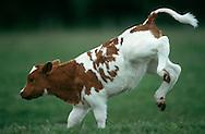 DEU, Deutschland: Hausrind (Bos taurus), Kalb springt verspielt und übermütig über die Weide, Rasse: Rotbunte, Norddeutschland | DEU, Germany: Domestic cattle (Bos taurus), calf playing in feedlot, race: Red Holstein, Northern Germany |