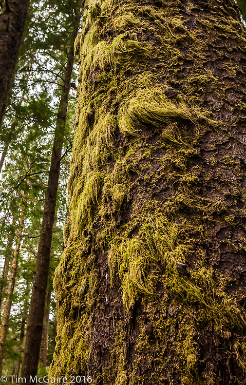 Moss on a tree trunk at Mora campground on the Olympic Peninsula, Washington.