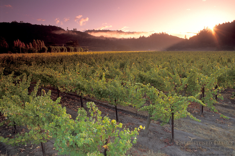 Sunrise over Vineyard in the Napa Valley, along the Silverado Trail, California