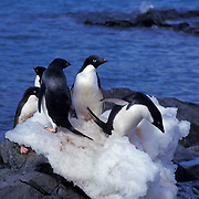 Adelie Penguin, (Pygoscelis adeliae) Along shores of Laurie Island South Orkney Islands. Antarctica.