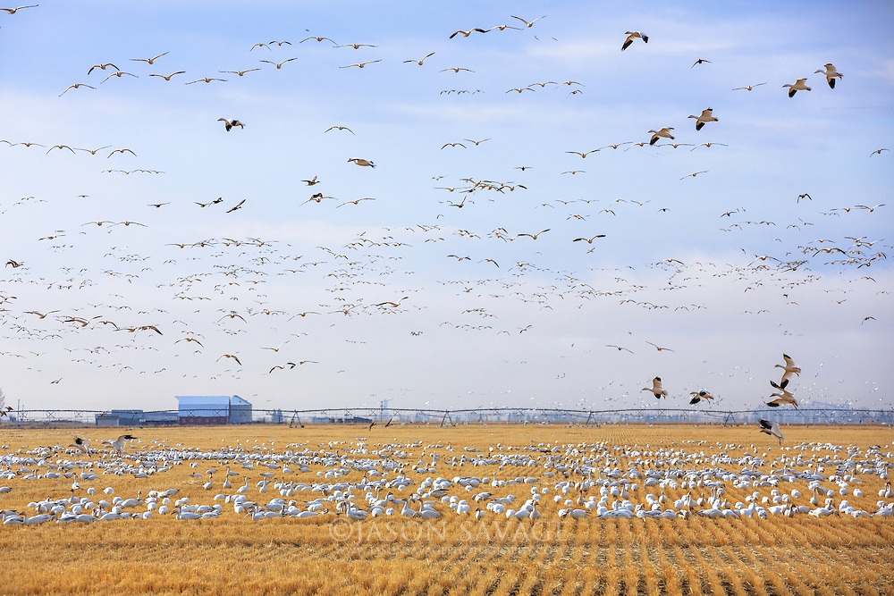 Snow Geese in field near Freezeout Lake, Montana.