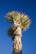 A Joshua Tree in the Mojave Deseert