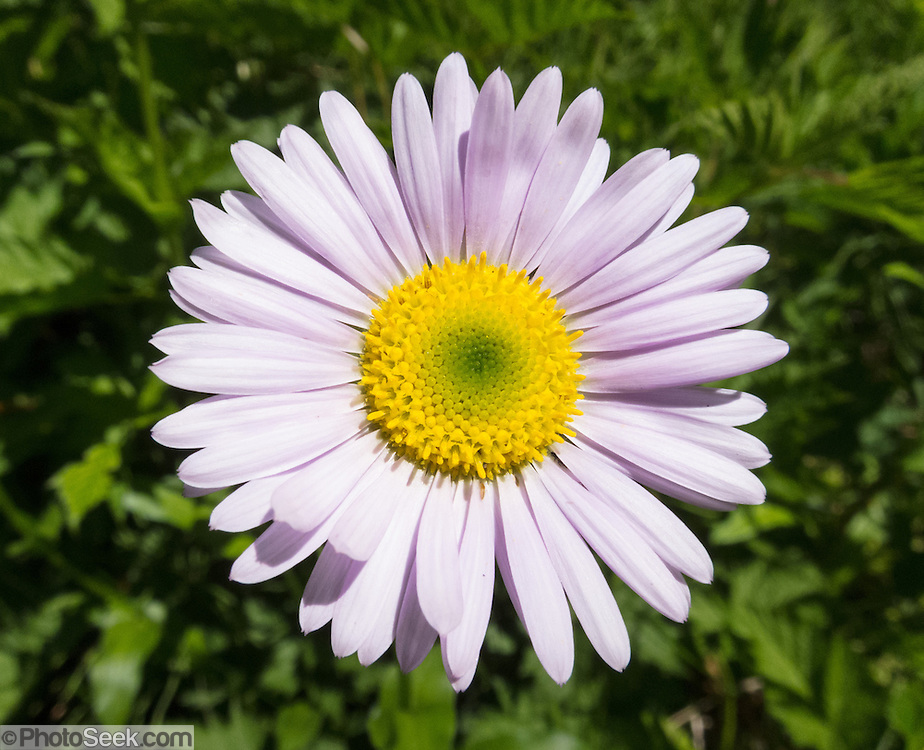 A lavender-colored aster flower blooms in Mount Pilchuck Natural Resources Conservation Area, Central Cascades, Washington, USA. The aster, daisy, or sunflower family (Asteraceae or Compositae) is the largest family of vascular plants.