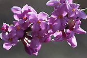 Spring flowers. Daphne mezereum, tysbast.