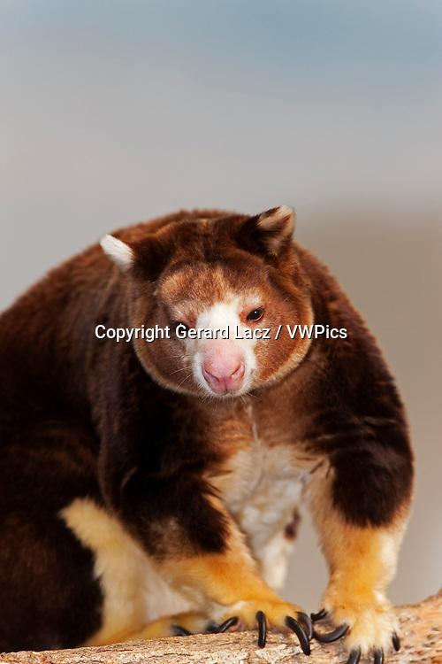 Matschie's Tree Kangaroo, dendrolagus matschiei, Adult