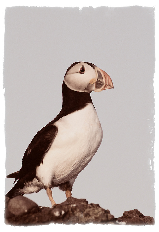Puffin against clear blue sky