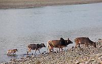 Cows crossing a river, Bardiya National Park, Nepal