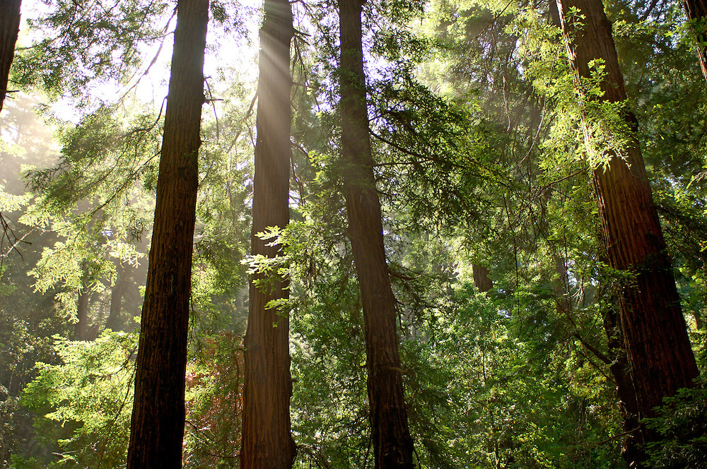 Redwood Trees, Muir Woods National Monument, Muir Woods, California, United States of America