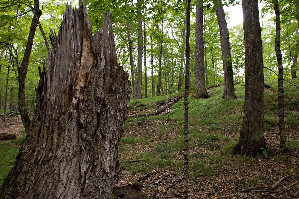 Mature hardwood forest at Sylvania Wilderness Area of Ottawa National Forest near Watersmeet Michigan.