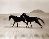 NAMIBIAN FERAL HORSES