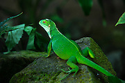 Fiji Banded Iguana (Brachylophus fasciatus)<br /> Fiji. South Pacific<br /> Captive<br /> Vulnerable to Endangered on Fiji due to introduced mongoose, feral pigs, cats and dogs