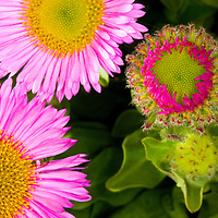 Flowers, pink, Green, close up, macro, summer