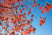 Detail of colorful tree in Central Park, New York City in Autumn.