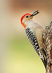 A Woodpecker Eating Sunflower Seeds