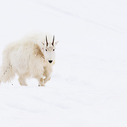 A mountain goat lurks into the ski scene while producing a story on backcountry skiing in Glacier National Park.