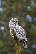 Great gray owl (Stix nebulosa)