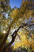Yellow Cottonwood tree, .Zion National Park, Utah