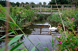 UK ENGLAND CAMBRIDGESHIRE WICKEN 7AUG06 - A swan at the Wicken Fen National Nature Reserve, managed by the National Trust is one of Britain's oldest nature reserve dating back to the late 1800s...jre/Photo by Jiri Rezac..© Jiri Rezac 2006..Contact: +44 (0) 7050 110 417.Mobile:  +44 (0) 7801 337 683.Office:  +44 (0) 20 8968 9635..Email:   jiri@jirirezac.com.Web:    www.jirirezac.com..© All images Jiri Rezac 2006 - All rights reserved.