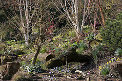 The dell bed in John Massey's garden in spring. Hepatica x media 'Harvington Beauty' in the foreground, hellebores, narcissi and silver birch beyond - Betula utilis var. jacquemontii