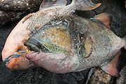 Triggerfish for sale<br /> Suva Sea Food Market<br /> Suva<br /> Viti Levu<br /> Fiji. <br /> South Pacific